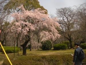 大阪城の桜、3月22日の時点では、今一歩